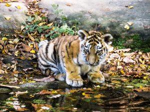 Chinesisches Sternzeichen Tiger