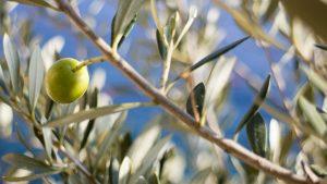 Wer ist der ideale Partner für den Ölbaum?